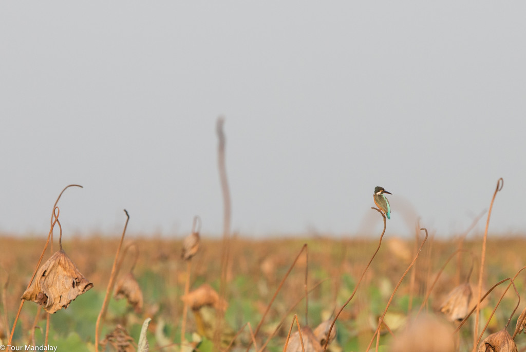 A Kingfisher perched on a dried out reed in Moeyungyi