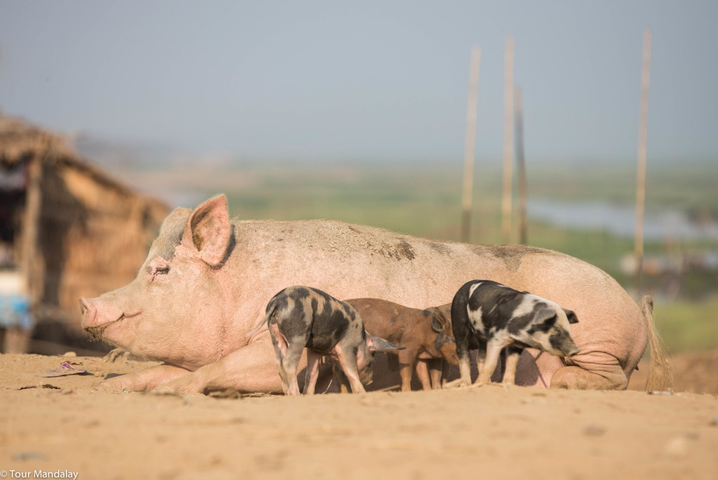 A mother pig feeds her babies in a village close to Moeyungyi