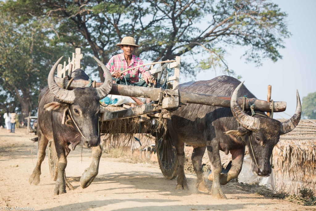An oxcart makes its way to a field close to the banks of Moeyungyi