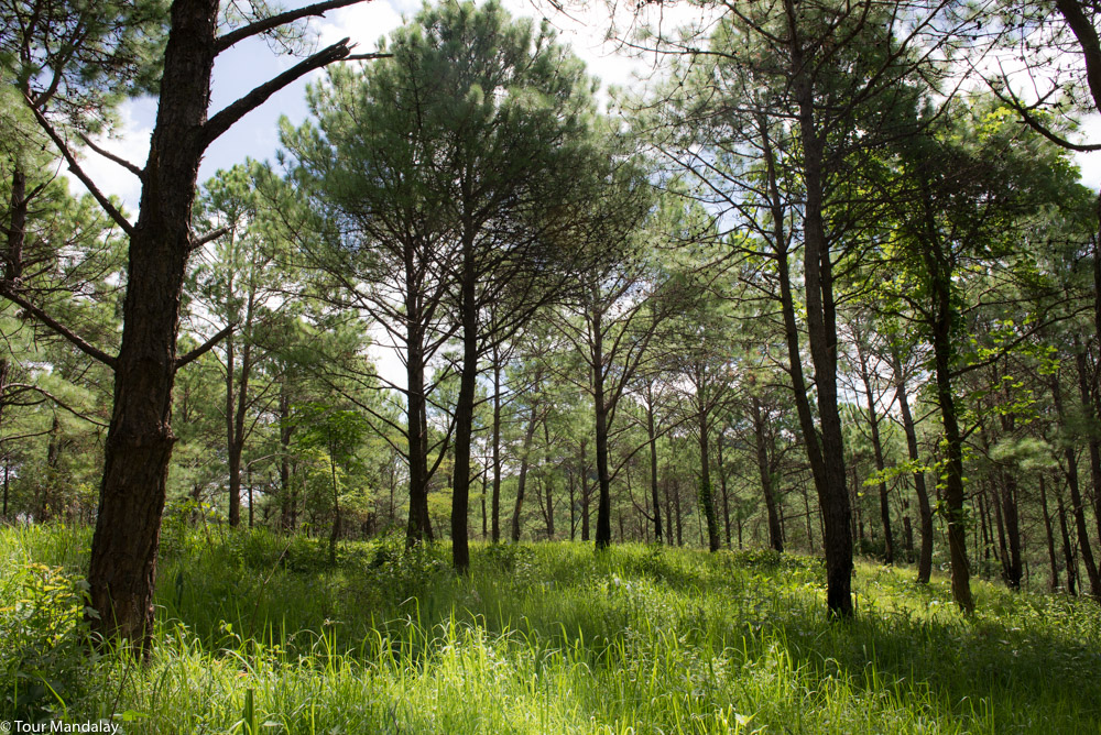 Pine forest outside Kalaw